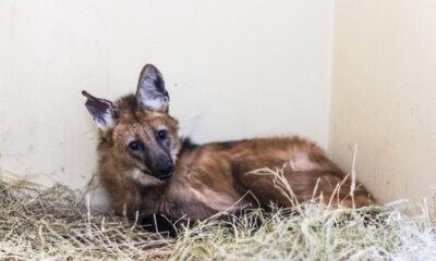 Lobo-guará e tamanduá-bandeira passam por tratamento no Centro Veterinário da PUC Minas Poços de Caldas